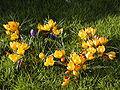Crocus vernus yellow.jpg