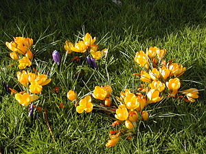 Colored crocus