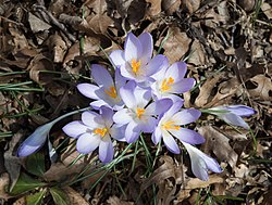 Crocuses at BBG (43248).jpg