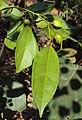 Croton tiglium 07.JPG