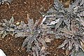 Cryptanthus zonatus Zebrinus 1zz.jpg