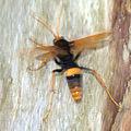 Cryptocheilus bicolor - Sydney 7.jpg
