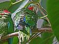 Cuban Amazon RWD.jpg