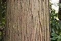 Cunninghamia lanceolata 01.jpg