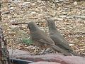 Curve-billed thrasher pair.jpg