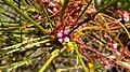 Cuscuta epithymum4.jpg