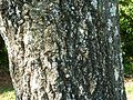 Cussonia spicata, stam, Pretoria NBT.jpg