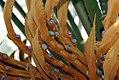 Cycas circinalis 14zz.jpg