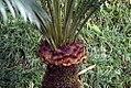 Cycas circinalis 38zz.jpg