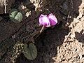Cyclamen coum - Eastern sowbread 02.jpg