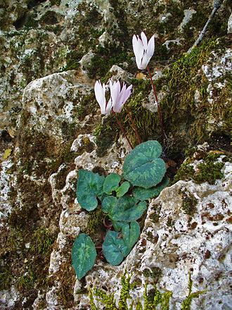 Cyclamen creticum - Cyclamen creticum growing on rockface