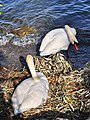 Cygnus olor (brütend) - Arboretum 2011-05-24 18-03-38.jpg