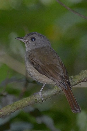 Matinan blue flycatcher