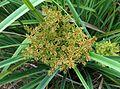 Cyperus javanicus (4797862558).jpg