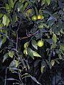 Cytryna Citrus limon.jpg