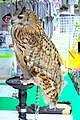 D85 1807Siberian Eagle Owl Photographed by Trisorn Triboon.jpg