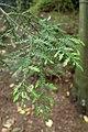 Dacrycarpus dacrydioides kz1.jpg