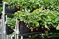 Dahu Township Strawberry 2.jpg