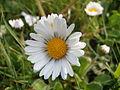 Daisy Flowers April 2014 (6).JPG