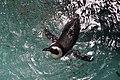 Dallas World Aquarium January 2019 17 (black-footed penguin).jpg