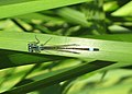 Damselfly on yellow flag leaf - geograph.org.uk - 813150.jpg
