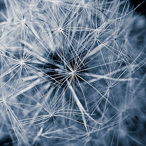 English: Dandelion