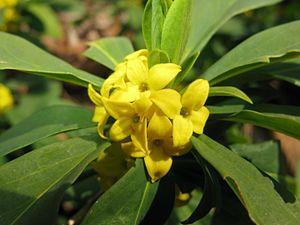 Daphne (plant) - Image: Daphne jezoensis 6