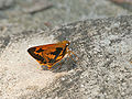 Dark Palm Dart at Jayanti, Duars, WB W IMG 5461.jpg