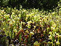 Darlingtonia californica ne4.JPG