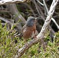 Dartford Warbler. (Sylvia undata) - Flickr - gailhampshire.jpg