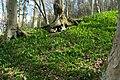 Das groesste zusammenhaengende Baerlauchgebiet Europas bei Urft in der Naehe von Kall DSC 0791.jpg