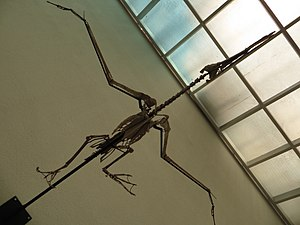 Dasornis - Skeleton from below