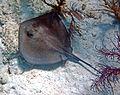 Dasyatis americana (southern stingray) (San Salvador Island, Bahamas) 10 (15966092808).jpg