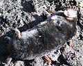 Dead mole.JPG