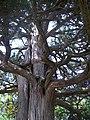 Dediğiolur sultan türbesi bahçesindeki ağaç 2 longuner - panoramio.jpg