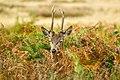 Deer 3 (16000296565).jpg