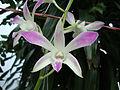 Dendrobium cultivar (3).JPG