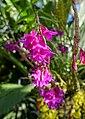 Dendrobium goldschmidtianum - Marie Selby Botanical Gardens - Sarasota, Florida - DSC01007.jpg