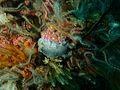 Dendrodoris caesia at Dangerous Doug Reef P5280575.jpg