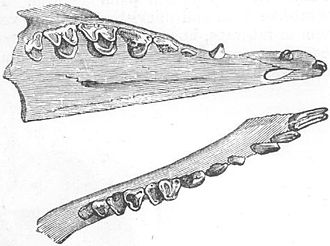 Treeshrew - Dentition of Tupaia