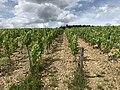 Des vignes à Irancy en juin 2020 - 3.jpg