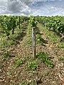 Des vignes à Irancy en juin 2020 - 4.jpg