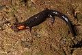 Desmognathus imitator 546362.jpg