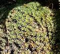 Deuterocohnia brevifolia 1.jpg