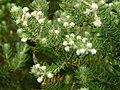 Deux insectes sur les fleurs du Phyllica - panoramio.jpg