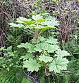 Devil's club (Oplopanax horridus) - Flickr - brewbooks.jpg