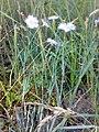 Dianthus arenarius 02.jpg