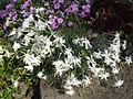 Dianthus arenarius nanus 'Little maiden' 1.JPG