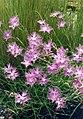 Dianthus monspessulanus 1b.jpg