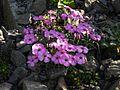 Dianthus neglectus 5.JPG